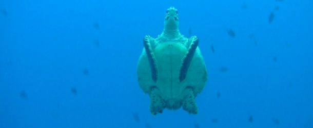 #359 : Diving with the turtles in Maldives