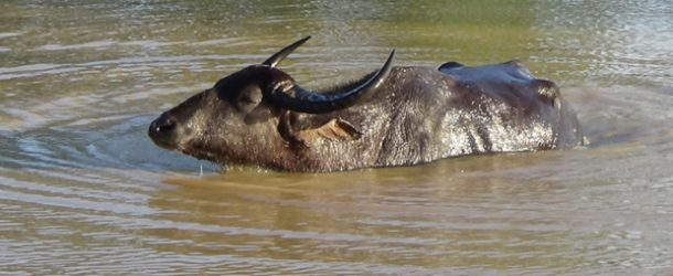 #398 : Observing Buffaloes of Swamps in Sri Lanka