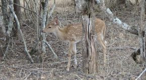 #399 : Observing the spotted Deer in India