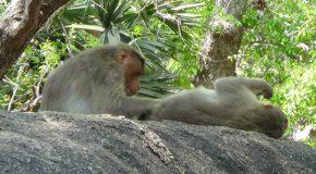 #414 : Observing the Rhesus Monkeys in India