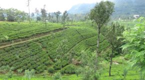 #384 : Studying the production of Ceylon Tea