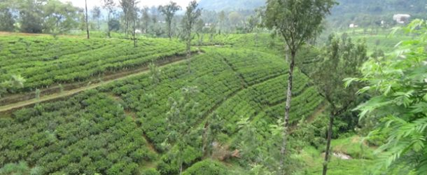#384 : Studying the production of Ceylon Tea