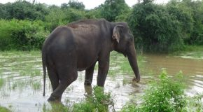 #381 : Observing the elephants of Sri Lanka