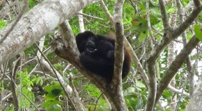 #424 : Listenning to a concert of Howler Monkeys in Nicaragua