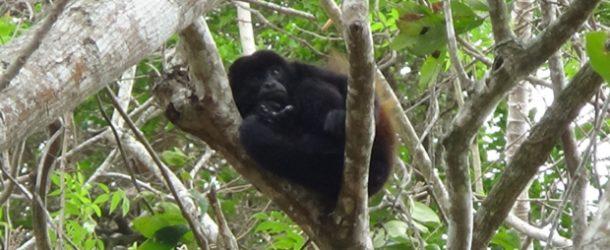 #424 : Aller à un concert des singes hurleurs au Nicaragua