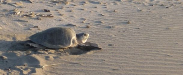 #405 : Watching the turtles laying eggs in Chacocente