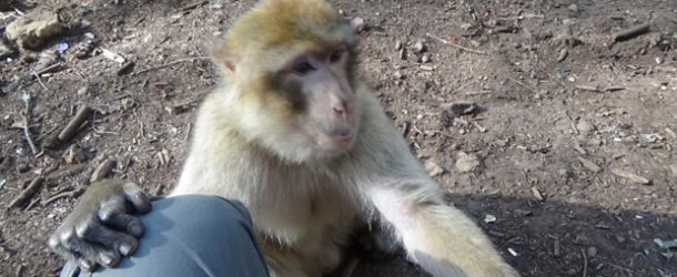 #428 : Sharing pinuts with Monkeys of Barbarie