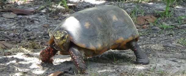 # 344: Observing the red legged turtles of Guiana