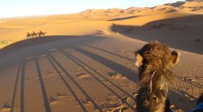 #445 : Walking in the dunes of the Sahara with camels