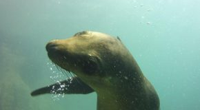 #461 : Diving with the sea lions in the Cortez Sea