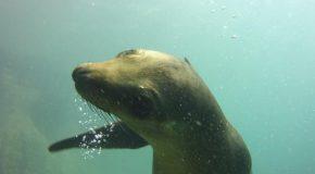 #461 : Plonger avec les otaries de Los Islotes