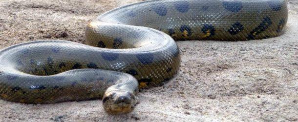 #474 : Se frotter au plus gros serpent du monde en Guyane