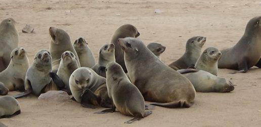 #530 : Observer la plus grande concentration d'otaries du monde sur la Skeleton Coast