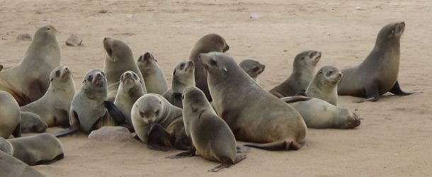 #530 : Observing the big colonies of fur seals at Cape Cross in Namibia