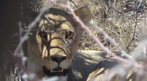 #543 : Observing the desert Lions in Namibia