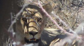 #543 : Observer les lions du désert en Namibie