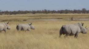 #536 : Racing with White Rhinos in Etosha