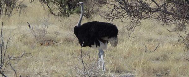 #536 : Observer les Autruches du Bush Namibien