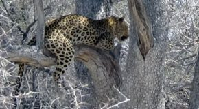 #544 : Observing the namibian Leopard