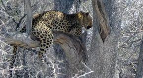 #544 : Chiller avec le léopard de Namibie