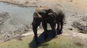 #546 : Observing the watered ceremonial of the African elephant