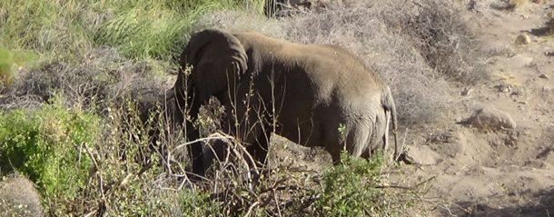 #540 : Aller à la rencontre d'un éléphant du désert en Namibie