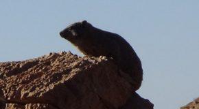 #542 : Meeting Damans of Rocks in the Namib Desert
