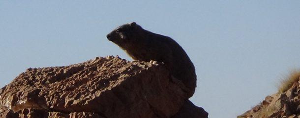 #542 : Rencontrer les Marmottes du Désert du Namib