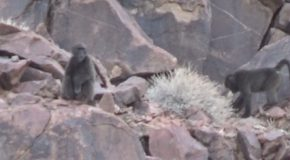#541 : Chating with the baboons of Namibia