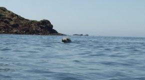 #600 : Nager avec les phoques gris bretons au Trégor