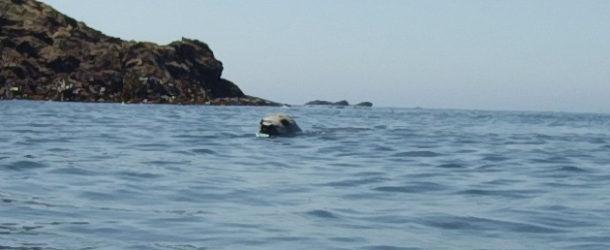 #600 : Nager avec les phoques gris bretons