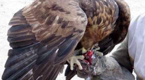 #608 : Chasser à l'aigle sur le bord du lac Issik Kull au Kirghizistan