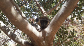 655 : Observing the green monkey in the Bijilo forest in The Gambia