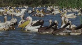 #649 : Watching the nesting of Pelicans in Djoudj in Senegal