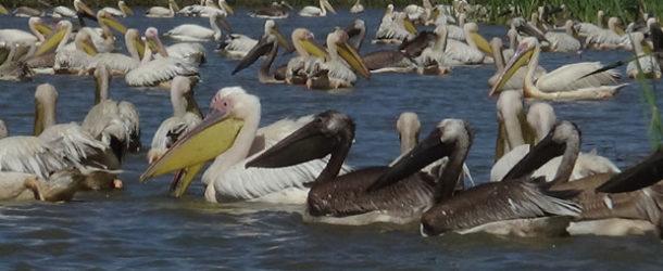 #649 : Voir la nidification des Pélicans dans le Djoudj