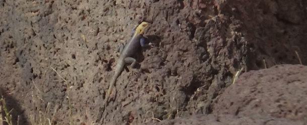 #676 : Admirer les couleurs flashy du Margouillat en Sénégambie