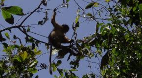 #654 : Observer le singe pleureur, le plus rapide du monde