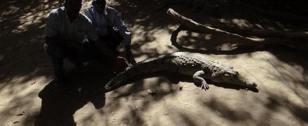 #652 : Toucher un crocodile dans la mare sacrée de Bakau