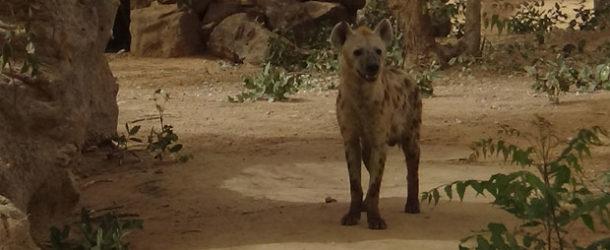 #658 : Se taper un bon rire avec des Hyènes au Sénégal