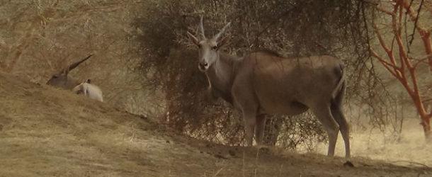 #647 : Voir la plus grande antilope du monde à Bandia