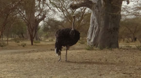 #646 : Observing the ostriches of Africa in Senegal