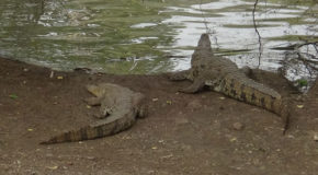 #648 : Observing the Nile crocodiles of the Bandia pond in Senegal