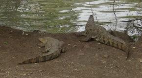 #648 : Observer le crocodile du Nil de la mare de Bandia