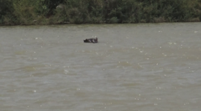 #653 : Observing the hippos of the Gambia River