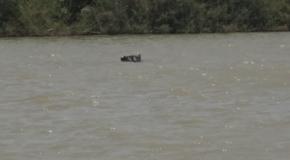 #653 : Être observé par l'hippopotame sauvage du fleuve Gambie