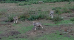 #683 : Observing the common gray wolf in Creuse