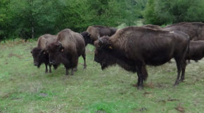 #684 : Browsing a bison farm in Creuse