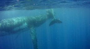 #684 : Nager avec les baleines à bosse à Tahiti