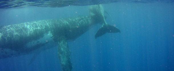 #684 : Swimming with humpback whales in Tahiti