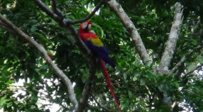 #715 : Observing the red macaws of Honduras